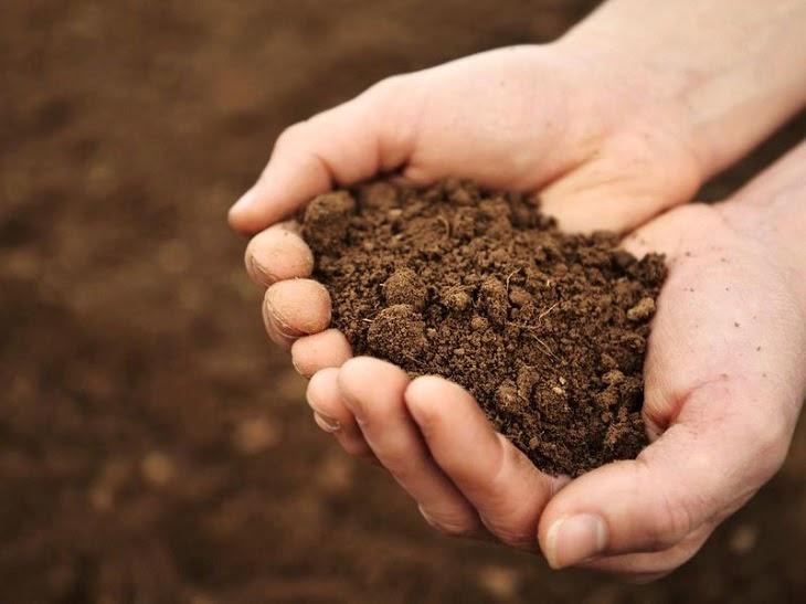 Đất trồng phải tơi xốp thì rễ mai mới dễ phát triển được