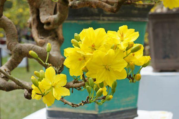 Sử dụng phân bón hữu cơ cho mai để mai cho nhiều hoa