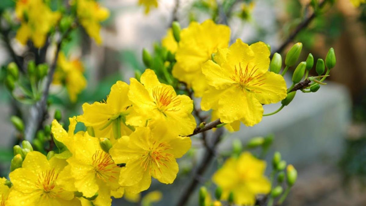 Mai năm cánh – loài mai vàng phổ biến nhất