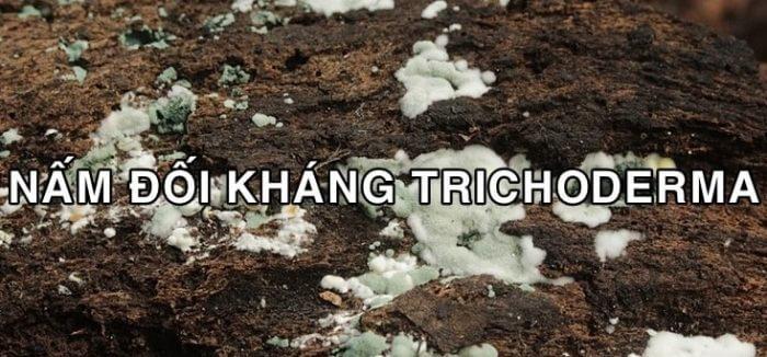 Nấm Trichoderma giúp kiểm soát các loại nấm có hại