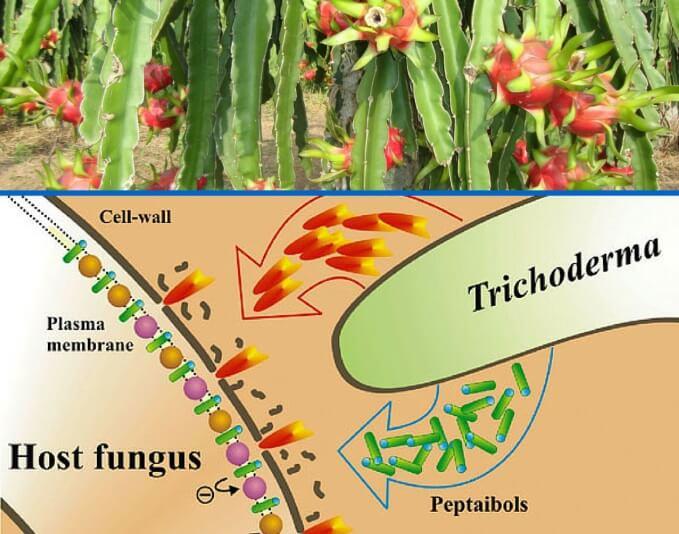 Cơ chế tác động của nấm Trichoderma